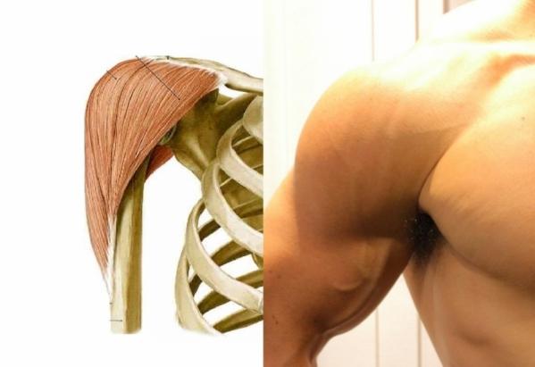 前から見た肩の筋肉の写真