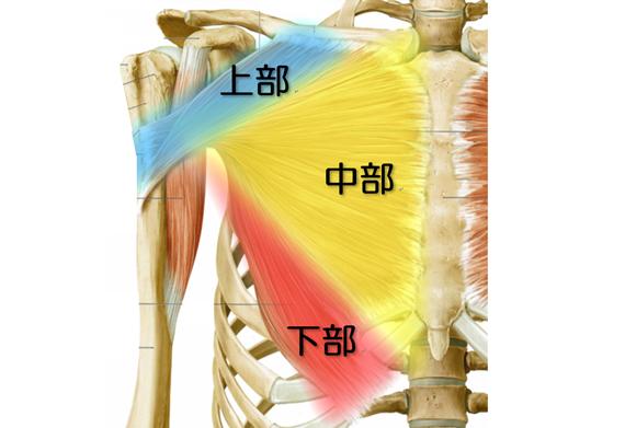 大胸筋の解剖