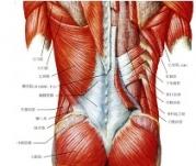 腰の筋肉の解剖図です