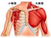 大胸筋と小胸筋のイラストです