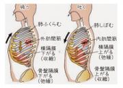 呼吸と肋骨の関係を示したイラストです
