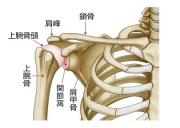 肩の骨格イラストです
