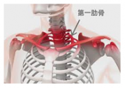第一肋骨のイラストです