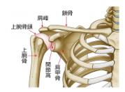 肩関節の構成骨格図です
